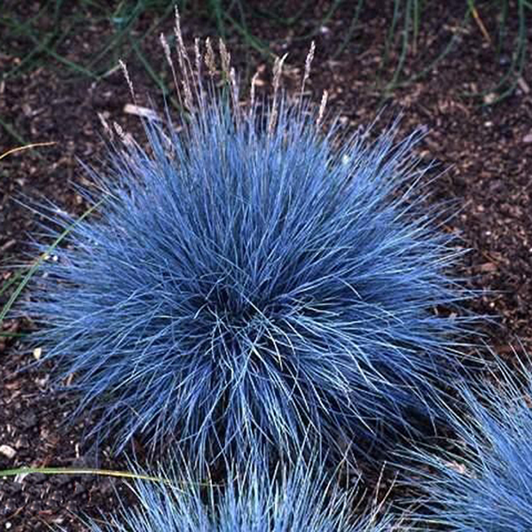 Favorable 100pcs blue fescue grass seeds perennial hardy for Small blue ornamental grass